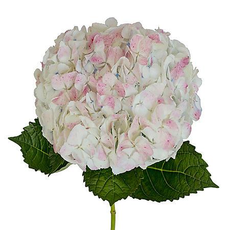 Jumbo Hydrangea, Antique Pink (12 stems)