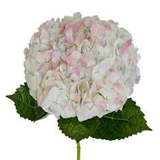 Hydrangeas - Antique Pink - 12 Stems