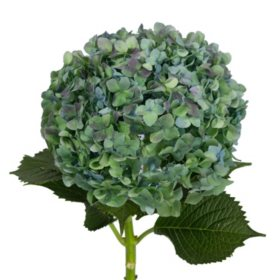 Jumbo Hydrangea, Hulk (12 stems)