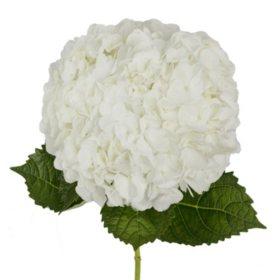 Hydrangea, White (20 stems)