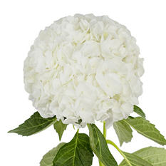 Jumbo Hydrangea, White (Choose stem count)