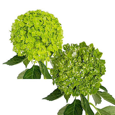 Emerald Hydrangea, Green and Variegated Combo (choose 14 or 26 stems)