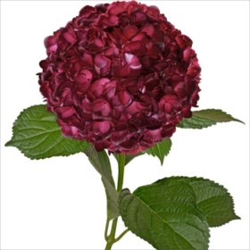 Painted Hydrangeas, Burgundy (26 Stems)