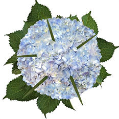 Hydrangea and Lily Grass Bouquet, Blue (8 bouquets)