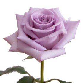 Roses, Ocean Song (choose 50 or 125 stems)