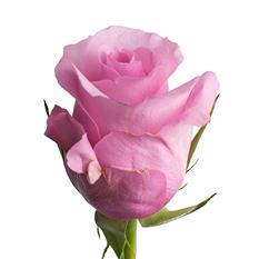 Roses, Blushing Akito (choose 50 or 100 stems)