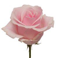 Roses, Titanic (choose 50 or 100 stems)