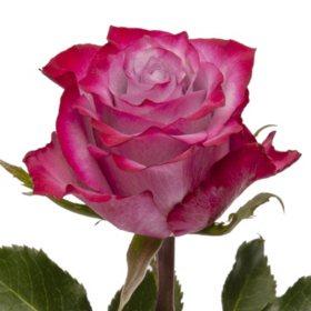 Roses, Deep Purple (choose 50 or 100 stems)