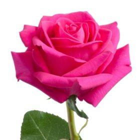 Roses, Pink Floyd (choose 50 or 100 stems)