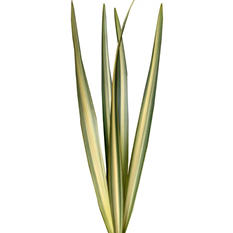 Variegated Flax - Filler (200 Stems)