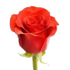 Roses, Nina (choose 50 or 100 stems)