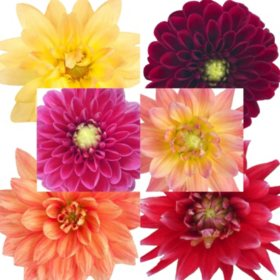 Dahlias, Assorted (25 stems)
