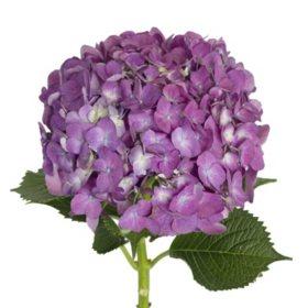 Hydrangeas, Elite Purple (26 stems)