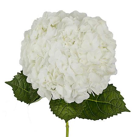 Premium Hydrangea, White (30 stems)