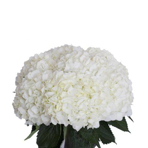Hydrangeas, White (30 stems)