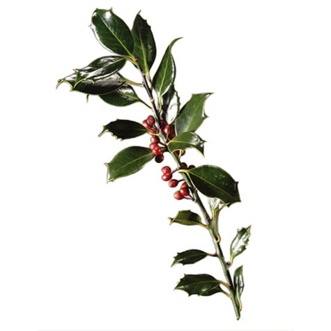 Red and Green Holly (5 pack)