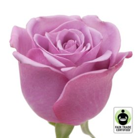 Fair Trade Roses, Lavender (75 stems)