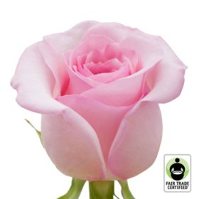 Fair Trade Roses, Light Pink (75 stems)
