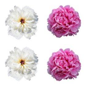 Alaskan Peonies, Pink and White (choose 20 or 100 stems)