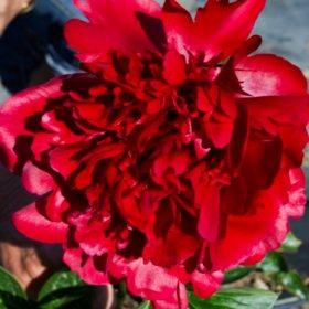 Alaskan Peonies, Red (choose 20, 40, 60 or 100 stems)