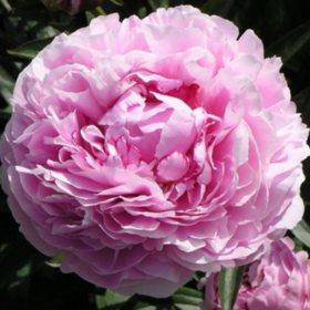 Alaskan Peonies, Sarah Bernhardt (choose 20, 40, 60 or 100 stems)
