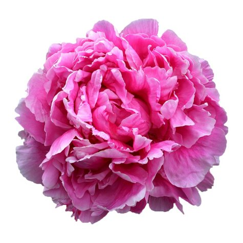 Alaskan Peonies, Pink (choose 20, 40, 60 or 100 stems)