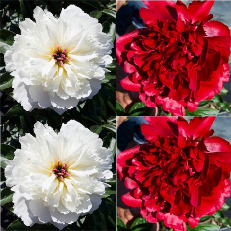 Alaskan Peonies, Red and White (choose 20 or 100 stems)