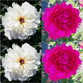 Alaskan Peonies, Hot Pink and White (choose 20 or 100 stems)