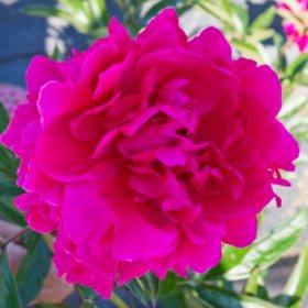 Alaskan Peonies, Hot Pink (choose 20, 40, 60 or 100 stems)