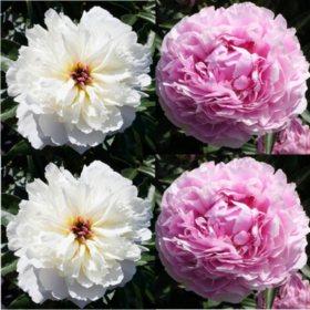 Alaskan Peonies, White and Sarah Bernhardt (choose 20 or 100 stems)