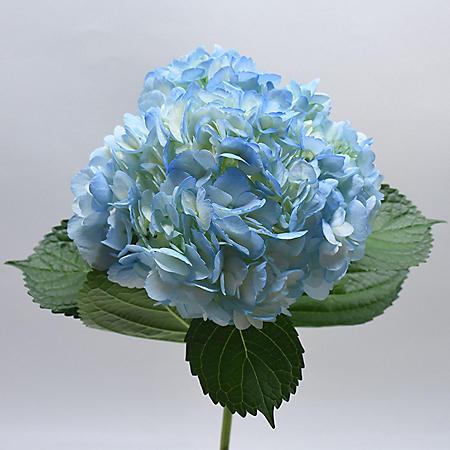 Hydrangea, Premium Blue (choose 20 or 24 stems)