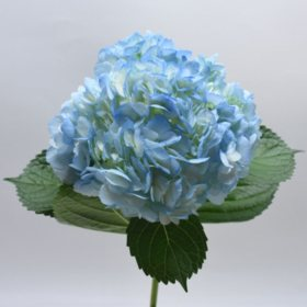 Hydrangea, Premium Blue (choose 20 or 24 stems)