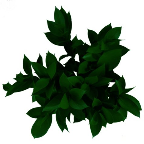 Ruscus, Painted Christmas (50 or 100 stems)