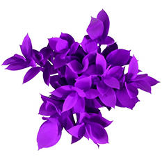 Ruscus, Painted Violeta (50 or 100 stems)