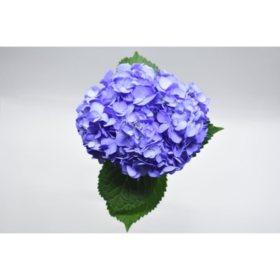 Painted Hydrangea, Periwinkle (choose 24 or 50 stems)