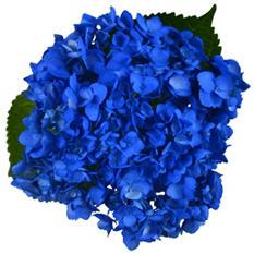 Hydrangeas, Painted Blue (Choose stem count)