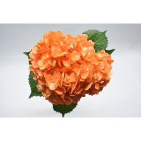 Painted Hydrangea, Orange (choose 24 or 50 stems)