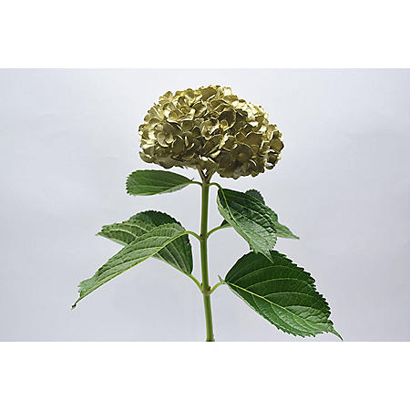 Painted Hydrangea, Gold (choose 24 or 50 stems)