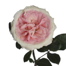 Garden Roses, Mayra's Bridal (36 stems)
