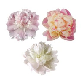 Grower's Choice Petite Alaskan Peonies, Blush (Choose 25, 50 or 75 stems)