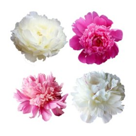 Grower's Choice Alaskan Peony Combo, White and Pink (50 stems)