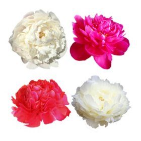 Grower's Choice Alaskan Peony Combo, White and Red (50 stems)