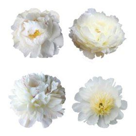 Grower's Choice Alaskan Peonies, White (200 stems)