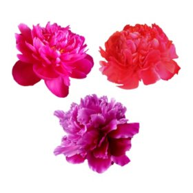 Grower's Choice Alaskan Peonies, Red (200 stems)