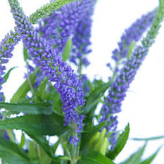 Veronica Flower, Purple (100 stems)