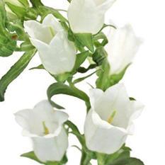 Campanula Flowers, White (60 stems)
