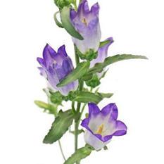 Campanula Flowers, Purple (60 stems)