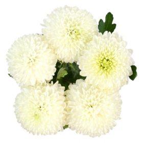 Lollipop Mums, White (75 stems)
