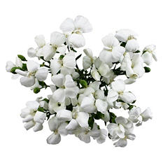 Solomio Flowers, White (80 stems)