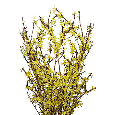 Forsythia Branches (40 stems)